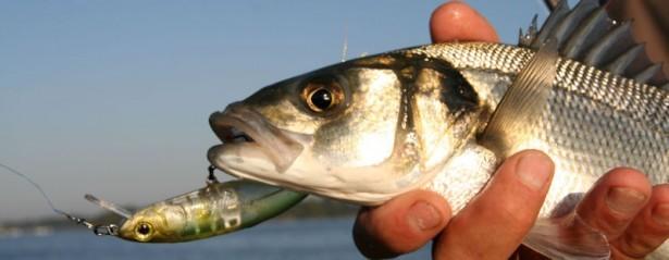 Une pêche technique avec un carnassier redoutable