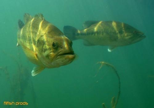 le black bass un poisson réputé pour ses combats