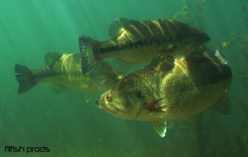 la pêche et le black bass une histoire d'amour !
