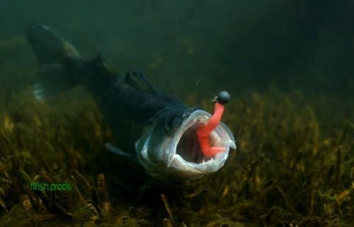 le sandre, poisson d'eau douce idéal pourla peche sandre !