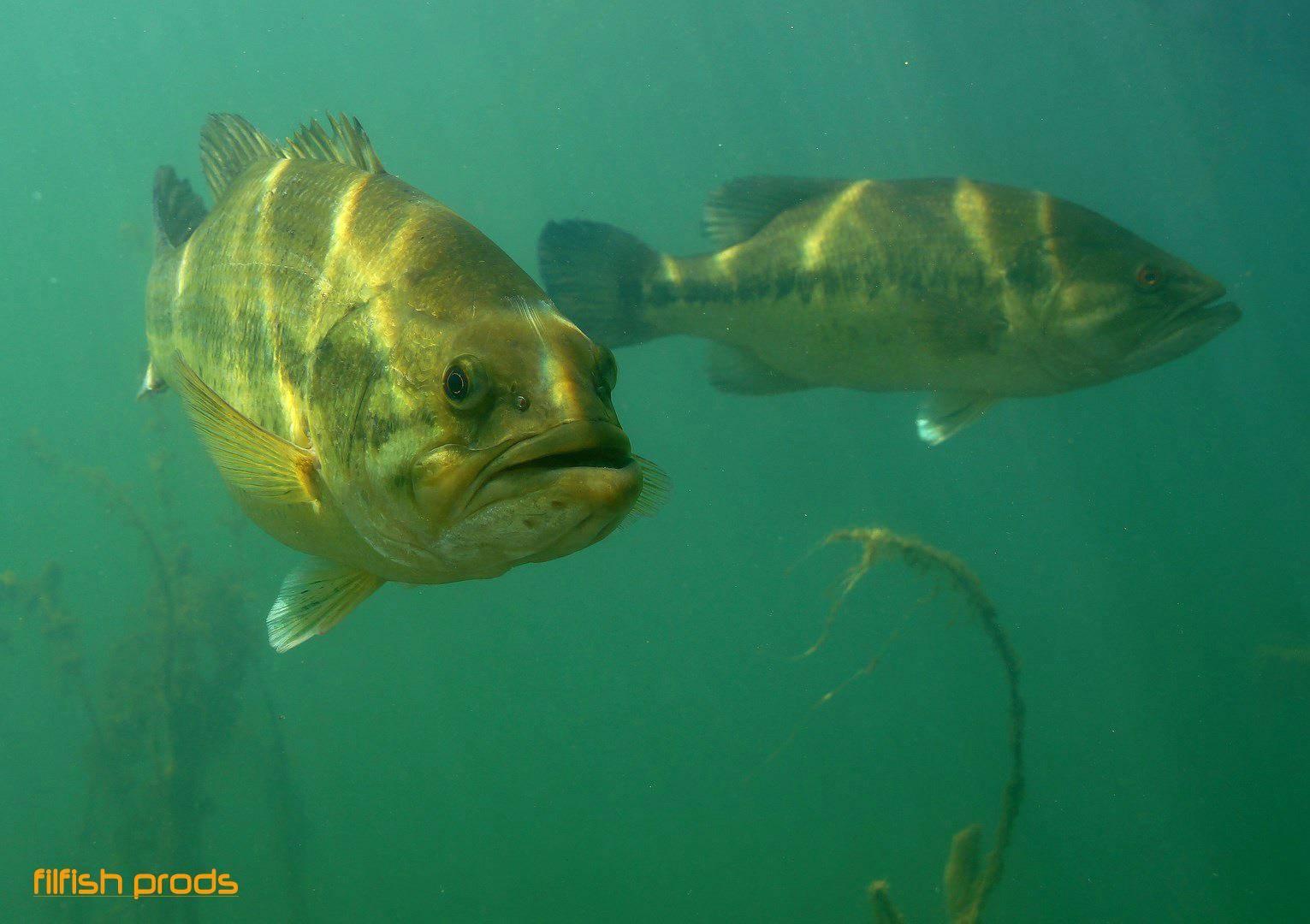 Image de black bass, un poisson réputé pour ses combats !