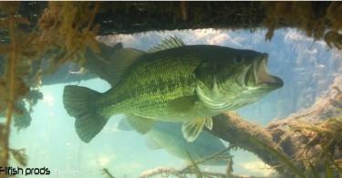 Le black bass un carnassier redoutable !