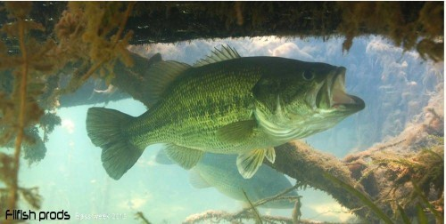 Le black bass un carnassier redoutable !