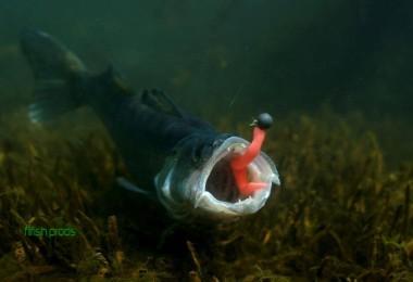 La pêche du sandre au leurre, le sandre un carnassier timide !