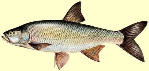 La pêche de l' aspe au leurre