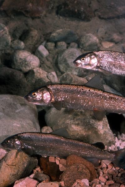 Le corégone, un poisson présent dans nos lacs alpins